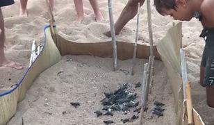 Małe żółwie muszą pokonać niezłą drogę już od pierwszych chwil swojego życia.