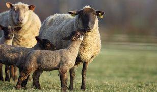 Koniec milczenia owiec