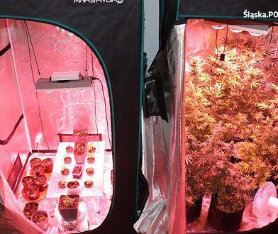Śląskie. Narkobiznes w Raciborzu. 33-letni mężczyzna uprawiał marihuanę