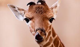 Wrocław. W zoo urodziła się mała żyrafa siatkowana