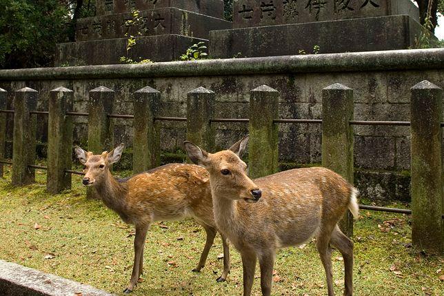 Jelenie z miasta Nara umierają przez turystów
