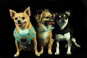 Małe rasy psów – nazwy i charakterystyka, do mieszkania