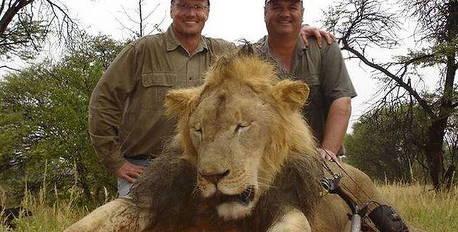 Zabił uwielbianego przez turystów lwa Cecila - internauci wypowiedzieli mu wojnę