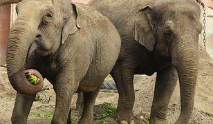 Wrocław. Światowy Dzień Słonia. W zoo święto
