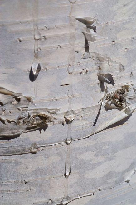 Sok z brzozy - naturalny eliksir