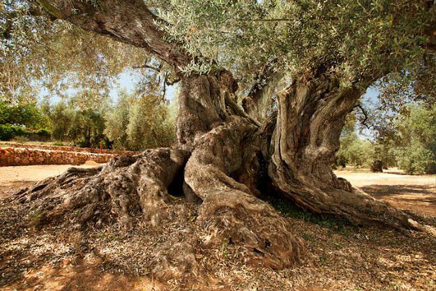 Drzewo, które rośnie od ponad 1700 lat