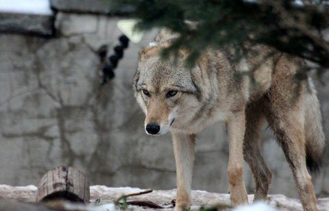 Mężczyzna przyprowadził wilka na smycz twierdząc, że spotkał go na ulicy