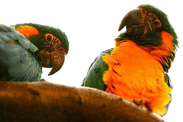 Dwie papugi - ary szafirowe - z Miejskiego Ogrodu Zoologicznego w Płocku
