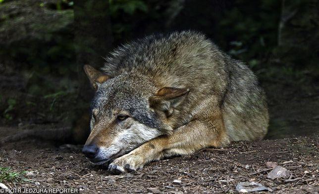 Przypadki agresji wilków w stosunku do człowieka są zjawiskiem niezmiernie rzadkim
