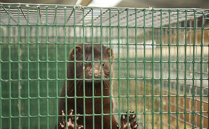 """Zakaz hodowli zwierząt na futra i trzymania psa na łańcuchu. """"To męczarnia dla zwierząt"""""""