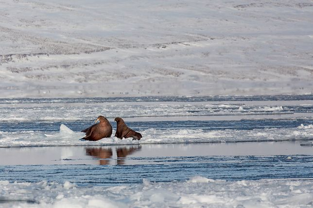 """Wraca na Arktykę od 25 lat. """"To kwintesencja naszego świata"""""""