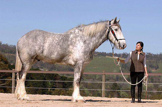 Gigantyczny koń zapomnianej rasy - zdjęcia