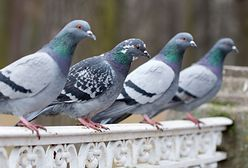 Najlepsze gołębie świata. Można je podziwiać na Olimpiadzie w Poznaniu
