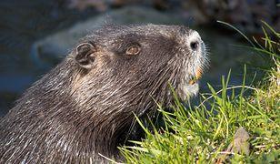 Minister chce, by bobry były jadalne. Znalazł zaskakujący argument