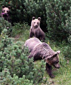 Tatry. Niedźwiedzie podchodzą coraz bliżej osiedli
