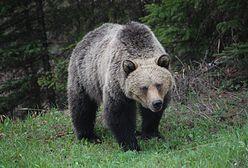 Pozbawił go snu i amunicji. Niedźwiedź grizzly ofiarę miał już w kłach