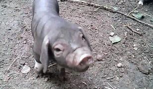 Małe świnki (wideo)
