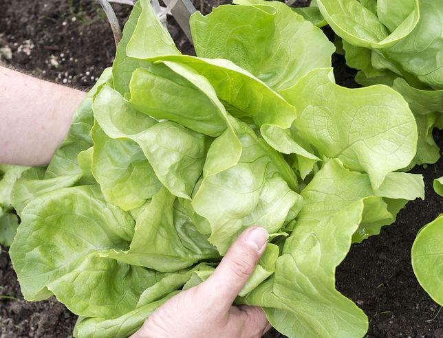 Ważne jest jednak to, żeby niskokalorycznych sałat nie przytłoczyć ciężkimi sosami i dodatkami