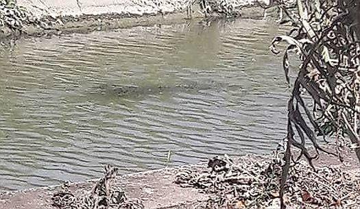 Zdjęcie krokodyla z Fiumicino we Włoszech