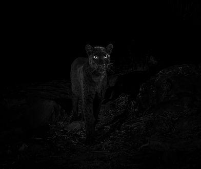 Po raz pierwszy od stu lat sfotografowano w Afryce czarną panterę