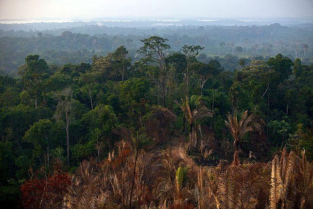 Amazoński las deszczowy w stanie Para / zdjęcie ilustracyjne