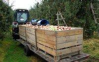 Tony owoców pójdą na marne, bo nie opłaca się zbierać. Zbiory i tak rekordowe