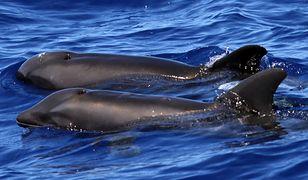 Na zdjęciu wykonanym przez Cascadia Research widać krzyżówkę dwóch gatunków