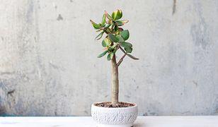 Grubosz. Roślina, którą warto mieć w swoim domu