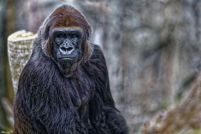 Zdjęcie goryla, zrobione w zoo w San Diego, USA