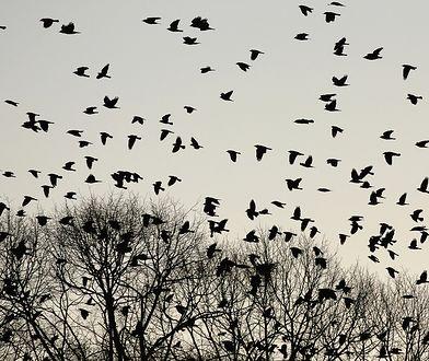 Dla wielu ptaków sylwester to najgorsza noc w roku