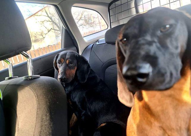 Śląskie. Bezpańskie psy myśliwskie w Cykarzewie Północnym przygarnął częstochowski patrol policji.