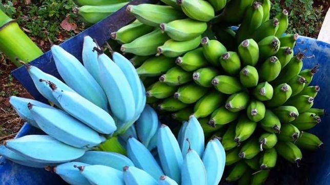 Niebieskie banany o niespodziewanym smaku.