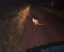 Polska. Kangur uciekł z Zielonej Szkoły. Trwają poszukiwania