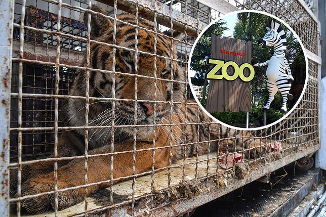 Dwa tygrysy trafiły do mini ZOO w Człuchowie