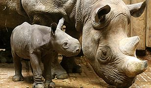 Dwudniowy nosorożec
