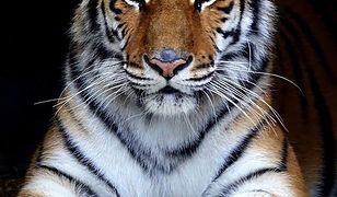 Tygrysy z poznańskiego ZOO trafią do Hiszpanii