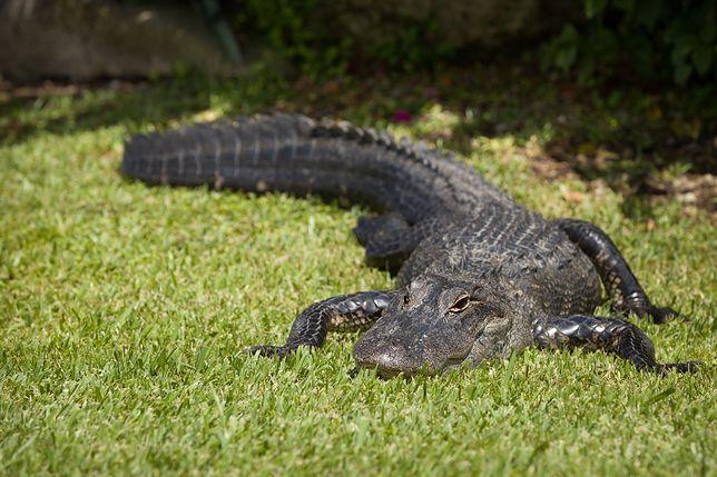 Aligator, zdjęcie ilustracyjne