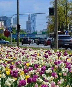 """Warszawa wiosną ponownie rozkwitnie. """"Pojawi się też ozdobny czosnek"""""""