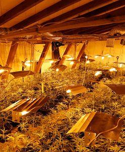 Mazowieckie. Plantacja marihuany w powiecie otwockim. Właściciel z zarzutami