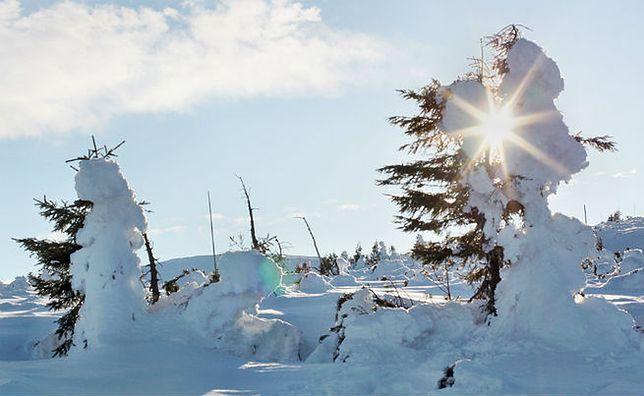 Kosodrzewina przy szlaku na Śnieżkę