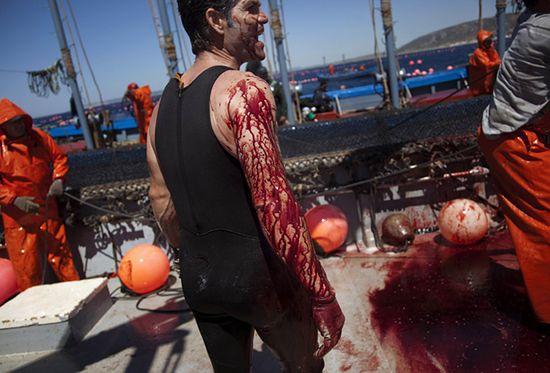 Krwawy połów hiszpańską tradycją - zobacz zdjęcia