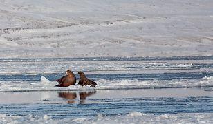 Słonie morskie, matka i dziecko, Svalbard, Billefjord
