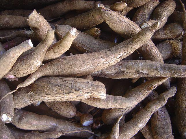 Maniok, to podstawa diety ludów subsaharyjskich
