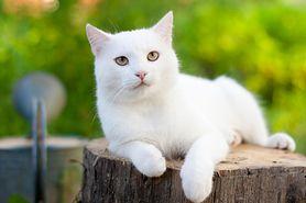 Koty – jaką rasę wybrać? Kot brytyjski, szkocki, syjamski i inne