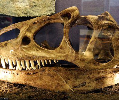 Model czaszki allozaura.
