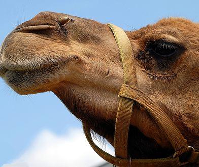 Arabia Saudyjska: Zakaz operacji plastycznych na wielbłądach