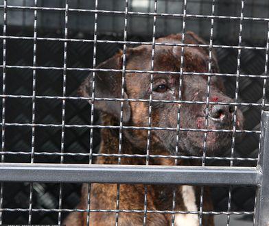 Dolny Śląsk. 25-latek ukradł alkohol, pies przed sklepem ugryzł go w nos
