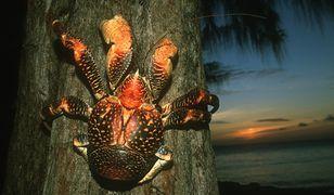 Kraby kokosowe mogą ważyć nawet 4 kg!