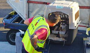 Psy odbywają podróż samolotem w specjalnych transporterach