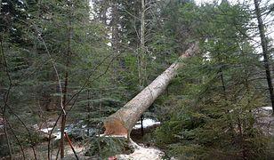 Balewo. Drzewo przygniotło drwala. Zdjęcie ilustracyjne